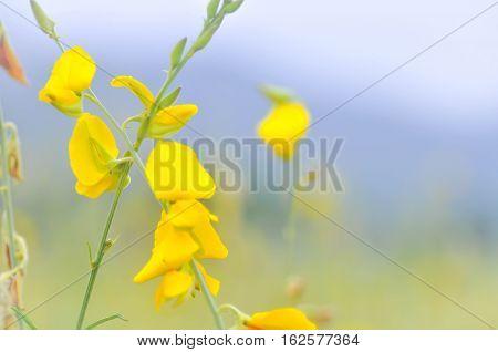 Crotalaria juncea Indian hemp or Madras hemp plant
