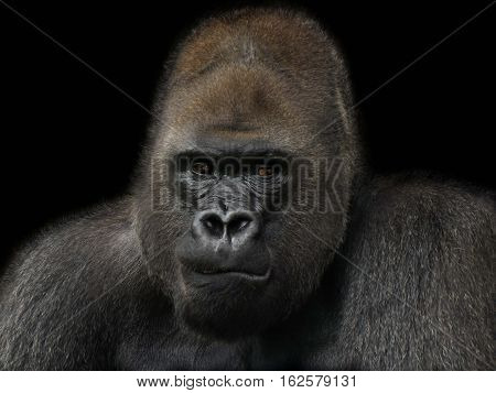 Portrait of one of the great apes the gorilla