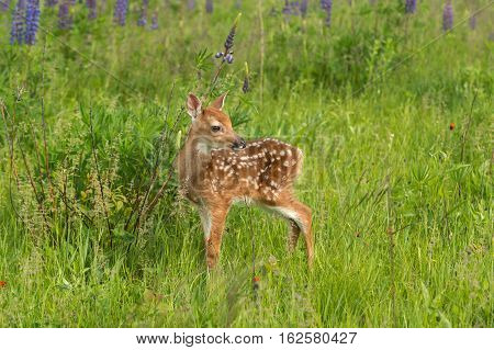 White-Tailed Deer Fawn (Odocoileus virginianus) Turned Right - captive animal