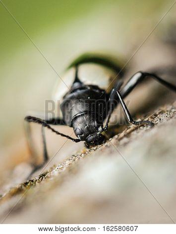 Yellow and Black Beetle diging wood macro photography