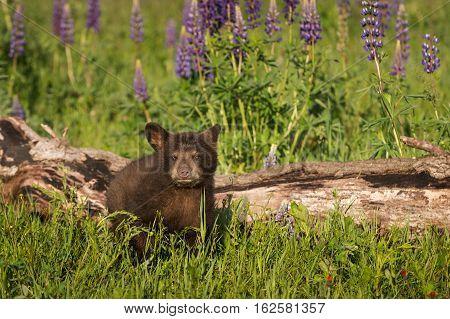 Black Bear Cub (Ursus americanus) Sits Next to Log - captive animal