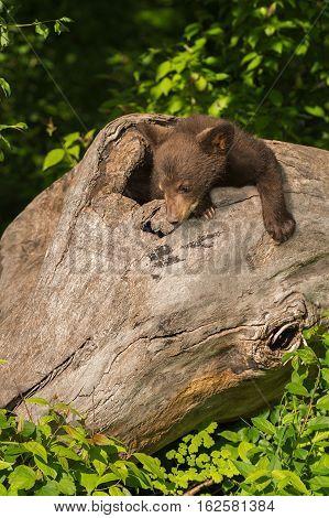 Black Bear Cub (Ursus americanus) Looks Down Log - captive animal