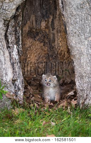 Canada Lynx (Lynx canadensis) Kitten Mouth Open - captive animal