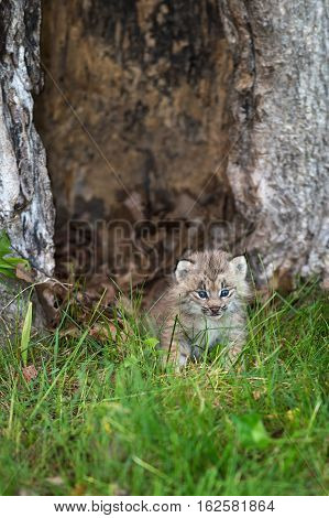 Canada Lynx (Lynx canadensis) Kitten Stands in Grass - captive animal