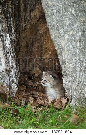 Canada Lynx (Lynx canadensis) Kitten Looks Left From Within Tree - captive animal