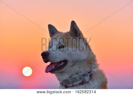 Akita Inu dog portrait at colorful sunset