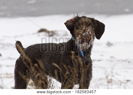 A German Wirehaired Pointer out in the snow pheasant hunting,