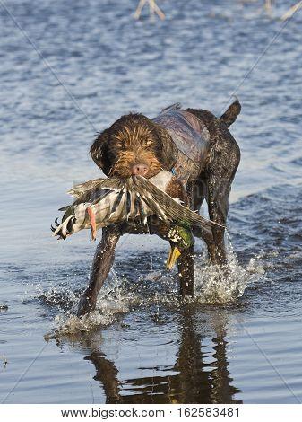 A hunting dog with a Mallard duck