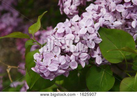 Lilac Blosoms