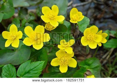 Marsh Marigold (Caltha palustris) flowers, close up