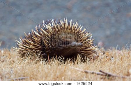 Echidna Front