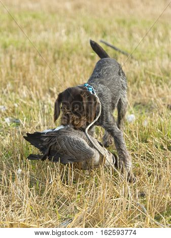 A hunting dog with a Canada Goose