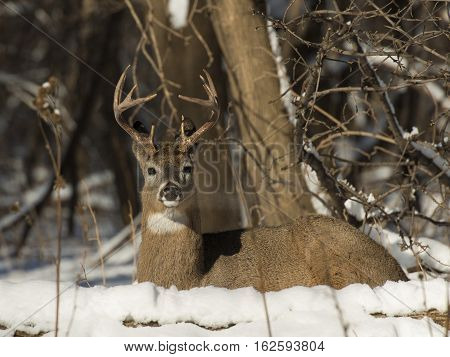 A Whitetail Buck laying down in the snow