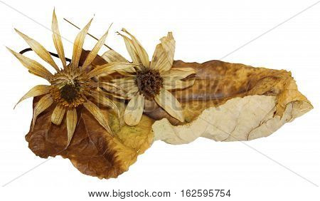 Dry  Leaves Of Poplar With Artichoke Flowers