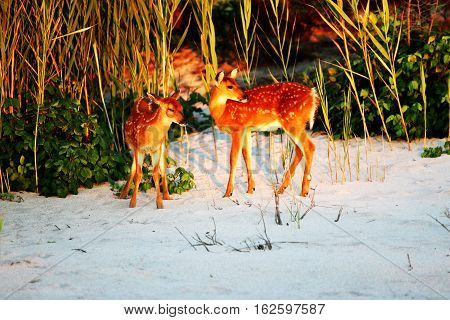 Yound deer at sunset on Fire Island in the dunes