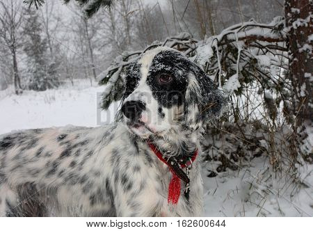 Pure breed black and white dog setter covered with snow on winter wonderland forest background