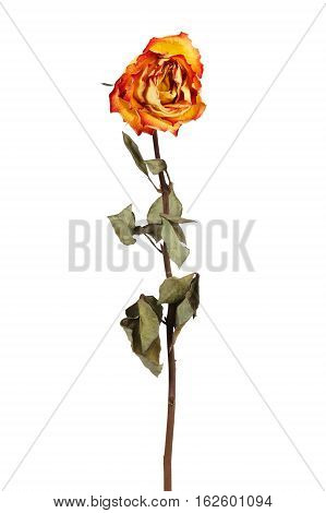 Yellow dried rose on a white background