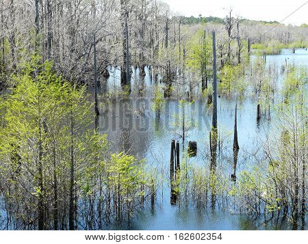 Cypress tree skeletons in the West Arm Creek of the Dead Lakes in Wewahitchka Florida display the natural beauty where Ulee's Gold was filmed.