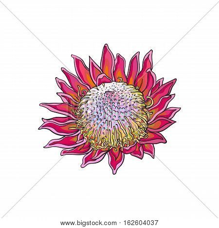 Single purple colored king protea, sketch style vector illustration isolated on white background. Colorful realistic hand drawing of exotic, tropical protea, national flower of South Africa