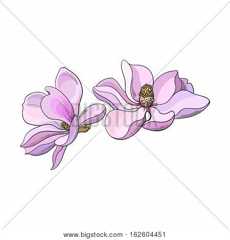 Two pink magnolia flowers, sketch style vector illustration isolated on white background. Colorful realistic hand drawing of magnolia blossoms, springtime flowers