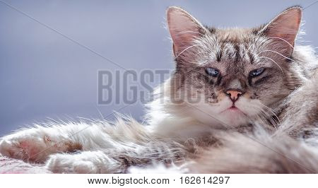Cat photographed staring on bed with a pink, purple and blue background