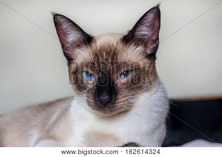 Grumpy blue eyes looking cat close portrait