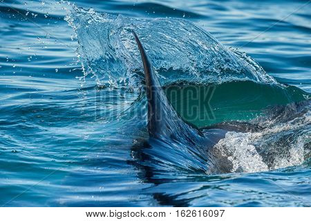 Shark Fin Above Water. Closeup Fin Of A Great White Shark (carcharodon Carcharias), Swimming At Surf