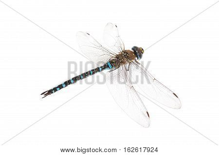 Emperor Dragonfly on white background in studio