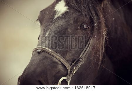 Muzzle of a black horse in a bridle.