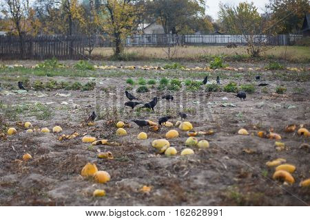 black crows sitting on the field and spoil the harvest