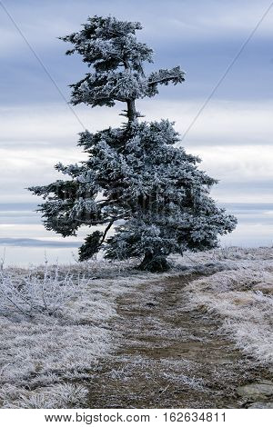 A Frasier fir tree grows naturally along the Appalachian Trail at the Roan Highlands of the Blue Ridge Mountains on the border of North Carolina and Tennessee.