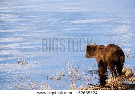Young Alaska brown bear looking into water at brooks river lagoon