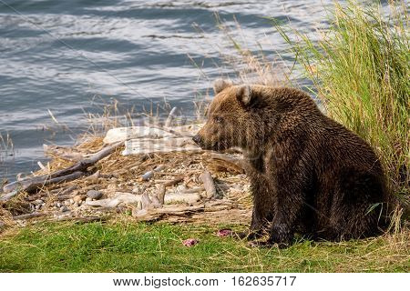 Young Alaska brown bear guarding fish remains on the edge of the brooks river lagoon