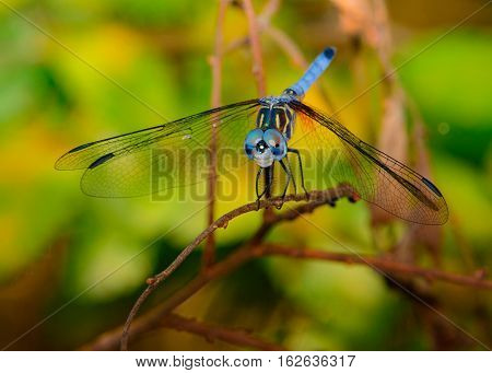 Blue dasher (Pachydiplax longipennis) dragonfly with green foliage background. Vivid eyes