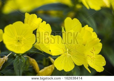 close-up blossoming yellow flowers of common evening-primrose