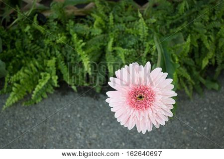 Beautiful pink flower gerbera close-up stock photo