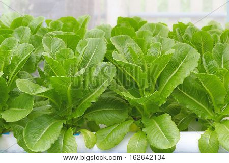 Cos Lettuce/ Romaine Lettuce hydroponics vegetable in farm for harvest.