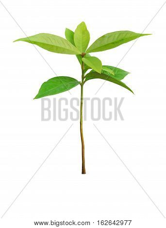 Young seedling growing of rose apple isolated on white clipping path.