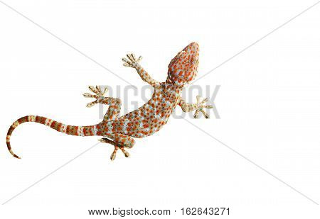 Gecko isolated on white background with clipping path.