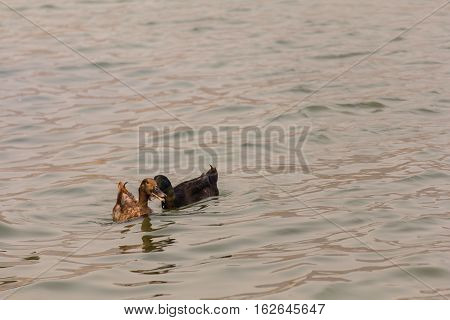 duck in lagoon , animal life style