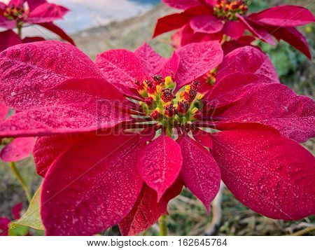 A close up view of a pointsettia.