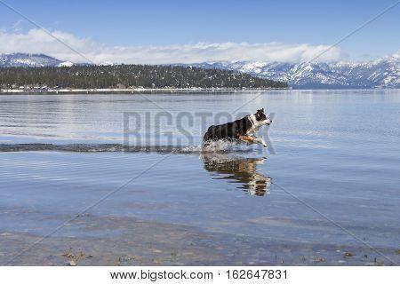 Dog running in Lake Tahoe water during Winter.