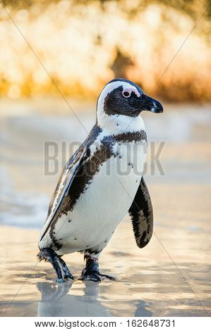 African Penguin ( Spheniscus Demersus)