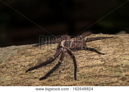 Big Huntsman Spider On Tree Madagascar