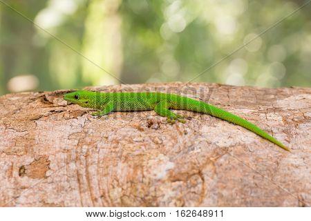 Phelsuma Day Geckos (Phelsuma madagascariensis)in its natural habitat. Farankaraina Tropical Park Toamasina province Madagascar wildlife and wilderness poster