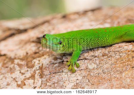 Phelsuma Madagascariensis Is A Species Of Day Gecko Madagascar