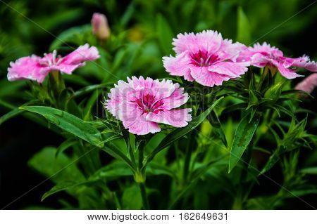 Deltoides Flower Butterfly (Pink Lady) is a species of butterfly native to most of Europe and western Asia.