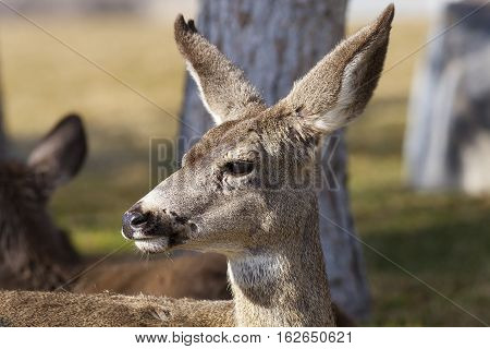 Closeup of one Mule Deer in woods