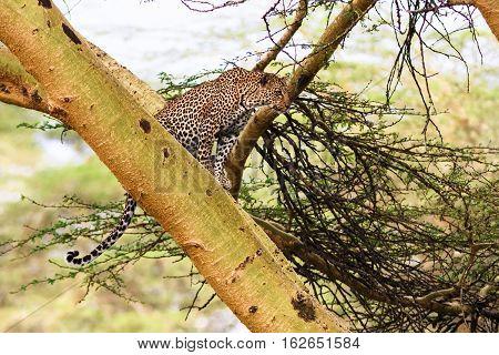 Leopard waiting prey. Ambush. On tree. Kenya