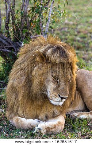 Lion. Asleep king of beasts. Masai Mara, Kenya